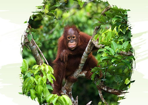 World Orangutan Day 2020